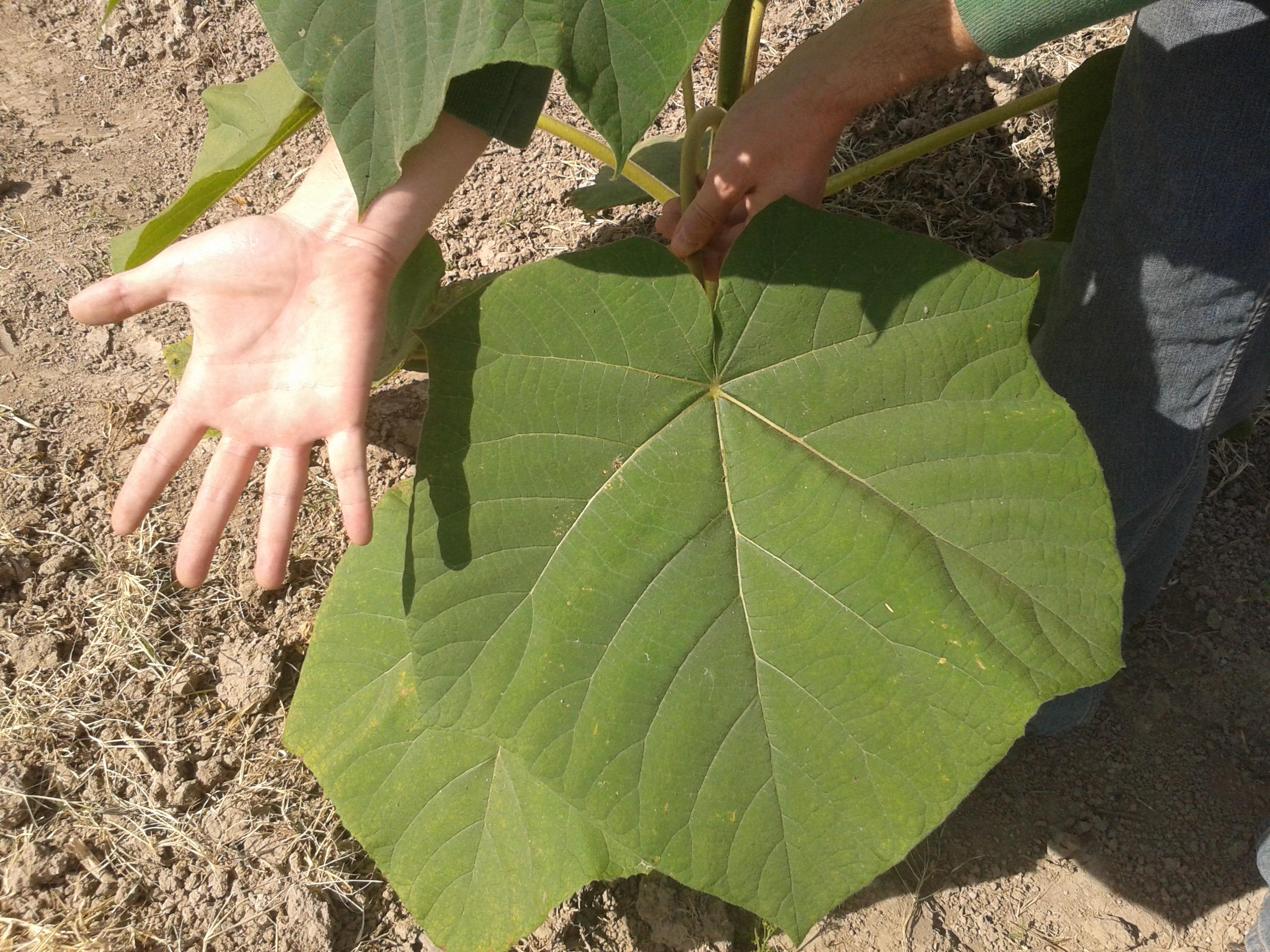 El arbol kiri for Arboles de hoja perenne que crece rapido